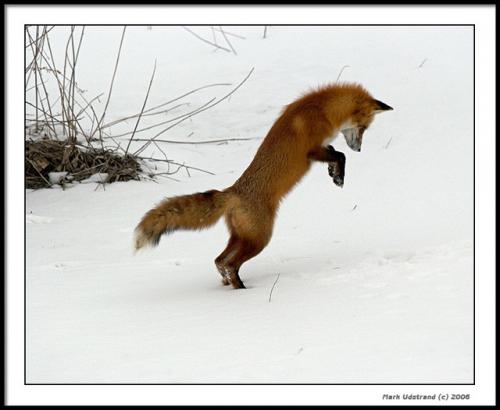 Лисья охота - 10 фотографий