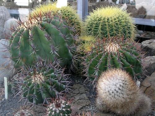 Кактусы Никитского сада (24 картинок)