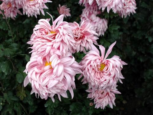 Хризантемы Никитского сада (31 картинок)