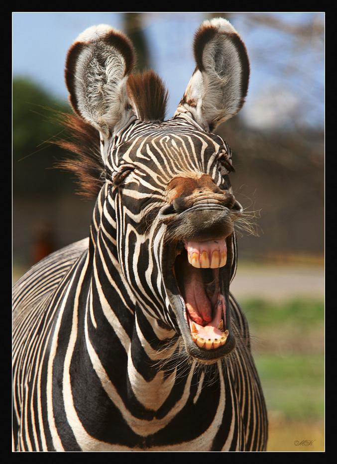 синт-поп, смешные картинки про зебру хорошее