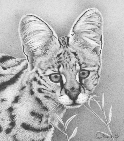 Удивительные графитовые рисунки животных от Клайв Мередит (Clive Meredith) (34 работ)