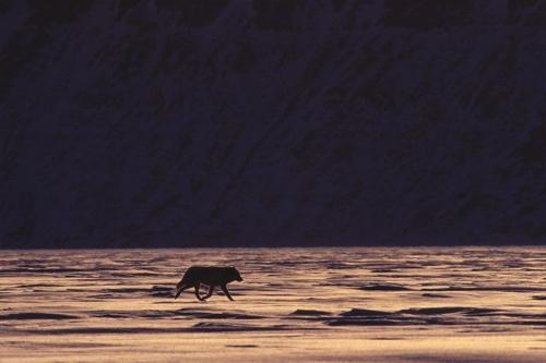 Работы фотографа Paul Nicklen (67 фото)