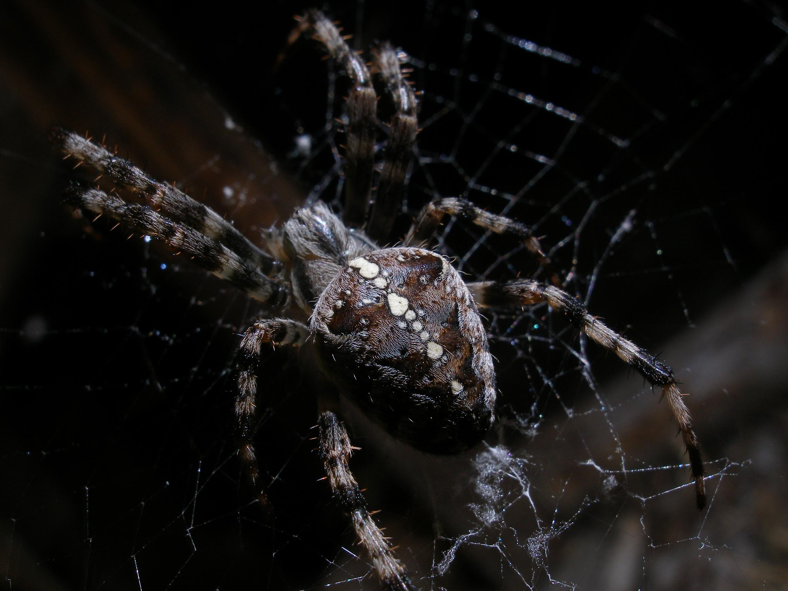 заявил, паук крестоносец в паутине на лопатке фото родилась семье