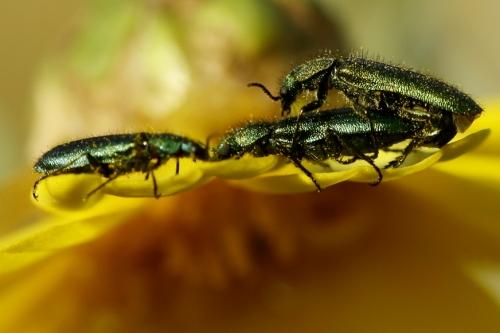 Окружающий мир через фотообъектив - Insects: Coleoptera (Насекомые: Жуки) Часть 6 (113 фото)