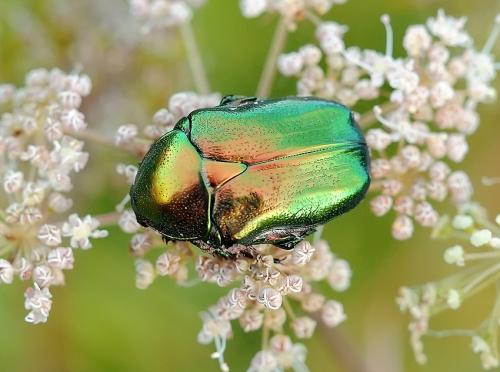 Окружающий мир через фотообъектив - Insects: Coleoptera (Насекомые: Жуки) Часть 7 (194 фото)