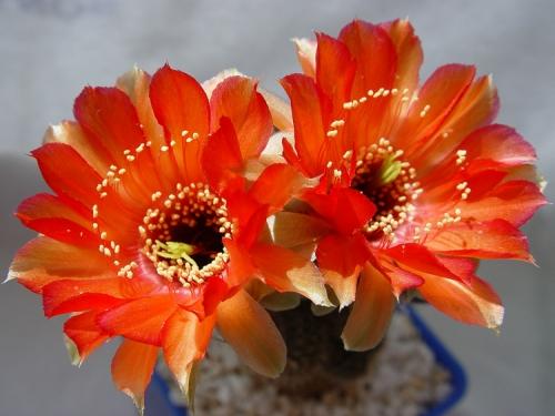 Окружающий мир через фотообъектив - Кактусы и суккуленты (Cactaceae&succulents) Часть 2 (513 фото)