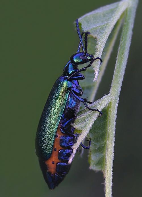 Окружающий мир через фотообъектив - Insects: Coleoptera (Насекомые: Жуки) Часть 5 (191 фото)