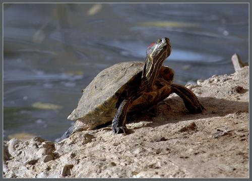 Окружающий мир через фотообъектив - Пресмыкающиеся и земноводные (Reptiles&Amphibious) Часть 3 (39 фото)