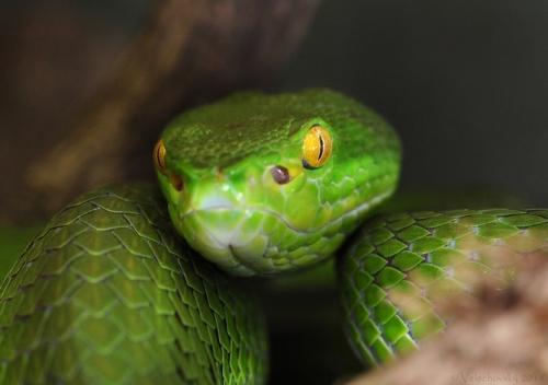 Фотограф Venomous Snakes (15 фото)