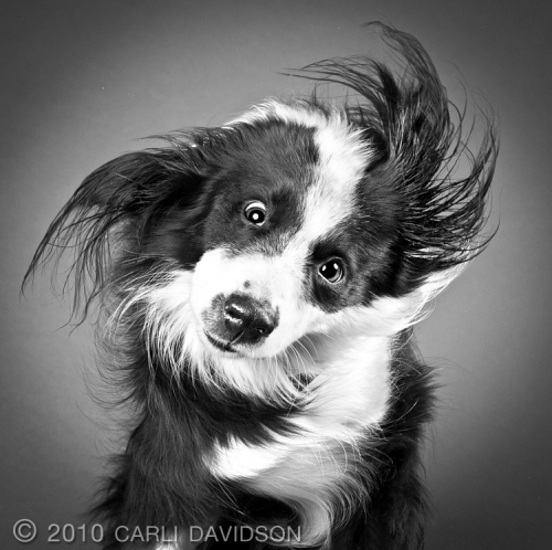 Карли Дэвидсон (Carli Davidson) - портретист животных и humans (43 работ)