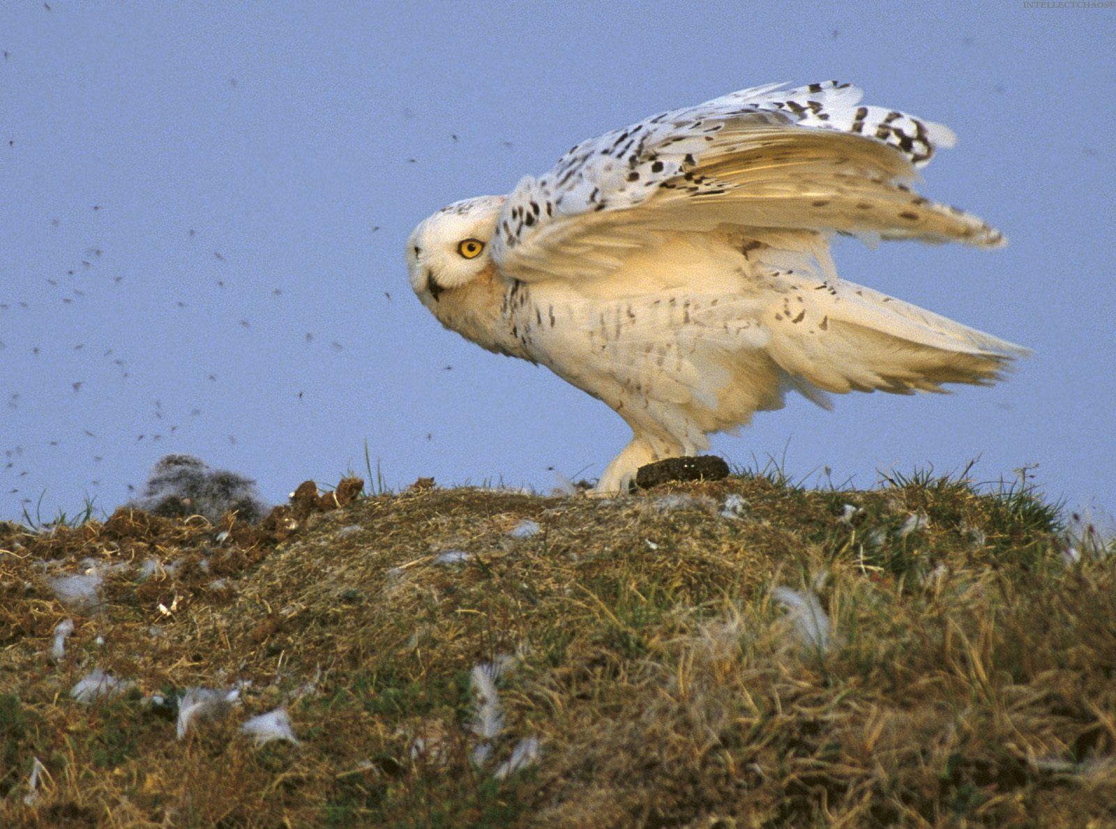 Картинки птицы аляски
