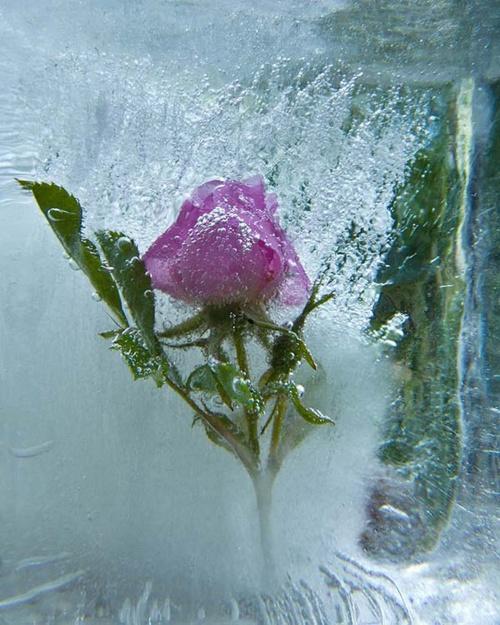 Цветы и лёд. Фотограф Василий Чешенов (29 работ)