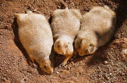 Суслики и луговые собачки (61 фото)